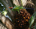 Long-tailed Parakeet (Psittacula longicauda longicauda) - Flickr - Lip Kee.jpg