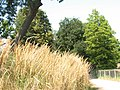 Long grass by the lake, Crystal Palace - geograph.org.uk - 943173.jpg