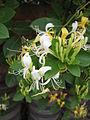 Lonicera japonica 03.JPG