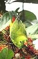 Loriculus vernalis in a Rambutan tree @ Kanjirappally 01.jpg