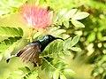 Loten's Sunbird AMSM9916a.jpg