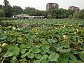 Lotus in Yuyuantan Park 4.JPG