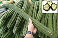 Luffa ridge (Luffa acutangula) immature gourd ready for consumption.jpg