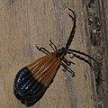 Lycidae P1220689a.jpg