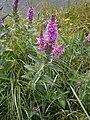 Lythrum salicaria 01.JPG