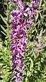 Lythrum salicaria L.-2F.jpg