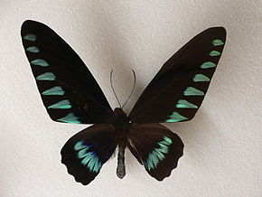Description de l'image MP - Birdwing 6.jpg.