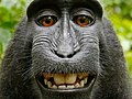 Macaca cropped 2.jpg