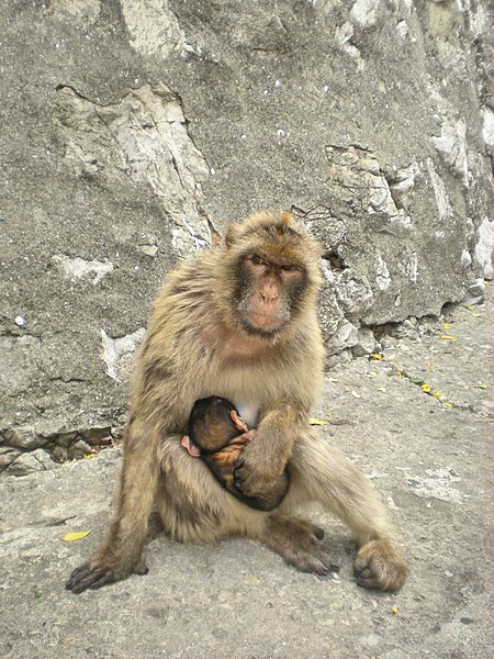 Soubor:Macaca sylvanus in Gibraltar.JPG