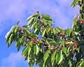 Macedonia-Still unmatured cherries (27274815821).jpg