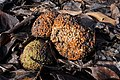 Maculura pomifera (Osage Orange) (32125450605).jpg