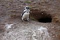 Magellanic Penguin at its burrow (4313162546).jpg