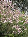 Magnolia dawsoniana.jpg