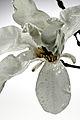 Magnolia macrophylla blossom IMGP2210.jpg