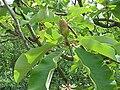 Magnolia obovata 04.jpg