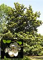 Magnoliaboombloem.jpg