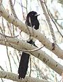 Magpie in Madrid (Spain) 83.jpg