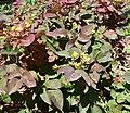 Mahonia aquifolium Compactum 1.jpg