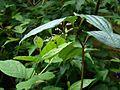 Maianthemum fuscum cordatum - Flickr - peganum.jpg