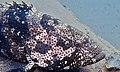 Malabar Grouper (Epinephelus malabaricus) (8502061051).jpg