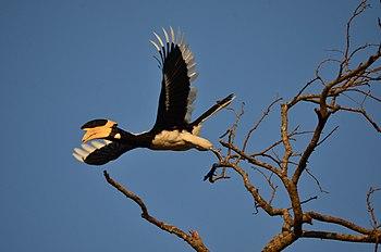 Malabar Pied Hornbill (Anthracoceros coronatus) at Panchmarhi.jpg