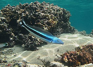 Tilefish - Blue blanquillo, Malacanthus latovittatus