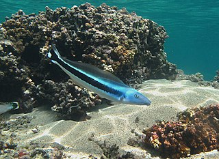 Tilefish family of fishes