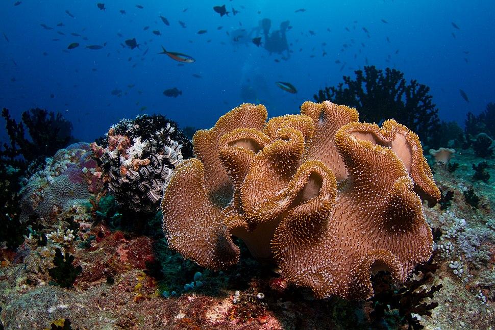 Maldives soft coral