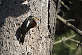 Male Hairy Woodpecker with food.jpg