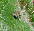 Male Pollenia sp. (33640892881).jpg
