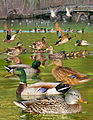Mallard From The Crossley ID Guide Eastern Birds.jpg