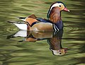 Mandarin Duck (15187989828).jpg