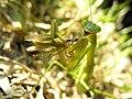 Mantis eating locust DSCN9754.jpg