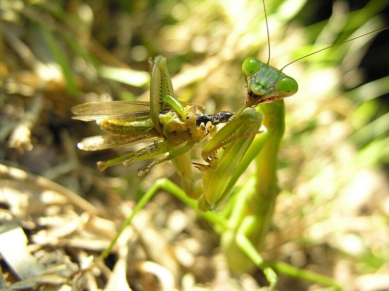 Bộ sưu tập Côn trùng - Page 5 800px-Mantis_eating_locust_DSCN9754