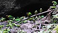 Many parrots -Napo Wildlife Centre, Yasuni National Park, Ecuador -clay lick-8.jpg