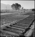 Manzanar Relocation Center, Manzanar, California. Evacuees of Japanese ancestry are growing flouris . . . - NARA - 537979.tif
