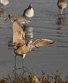 Marbled godwit, Limosa fedoa, Moss Landing (Elkhorn Slough and beach), California, USA. (30639542020).jpg