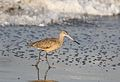 Marbled godwit, Limosa fedoa, Moss Landing (Elkhorn Slough and beach), California, USA. (30905284596).jpg