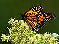 Mariposa Monarca (Danaus plexippus) (5185520652).jpg