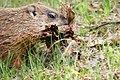Marmota monax UL 06.jpg
