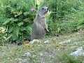 Marmotte en Vanoise 2008 (1).JPG