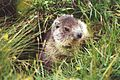 Marmotte vanoise.jpg