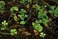 Marsilea quadrifolia 1zz.jpg