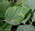 Massalongia betulifolia on Downy Birch Betula pubescens (24940622187).jpg
