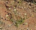 Matricaria chamomilla plant (17).jpg