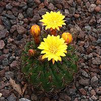 Matucana aureiflora P1050