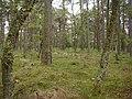 Mature Conifers, Flanders Moss - geograph.org.uk - 101241.jpg