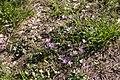 Mauve sylvestre-Malva sylvestris-Calvisson RGP-20140806.jpg