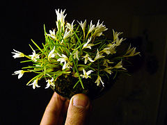Maxillaria vernicosa.jpg