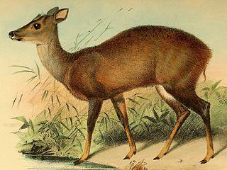 Amazonian brown brocket species of mammal
